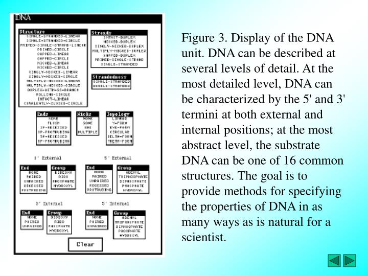 Figure 3. Display of the DNA unit. DNA can be described at several levels of detail. At the most detailed level, DNA can be characterized by the 5' and 3' termini at both external and internal positions; at the most abstract level, the substrate DNA can be one of 16 common structures. The goal is to provide methods for specifying the properties of DNA in as many ways as is natural for a scientist.