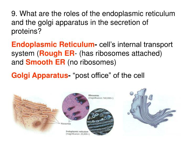 9. What are the roles of the endoplasmic reticulum and the golgi apparatus in the secretion of proteins?