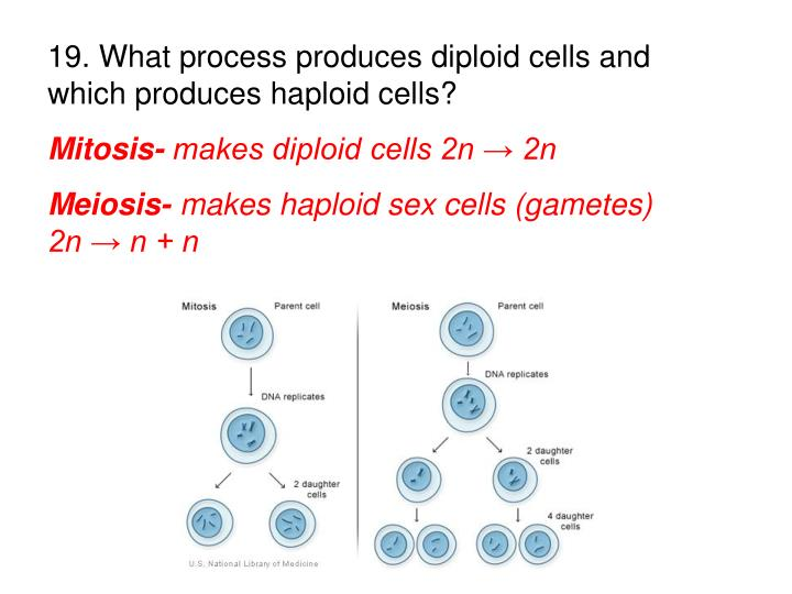 19. What process produces diploid cells and which produces haploid cells?