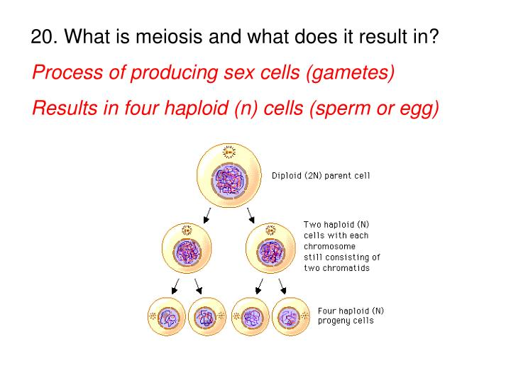 20. What is meiosis and what does it result in?