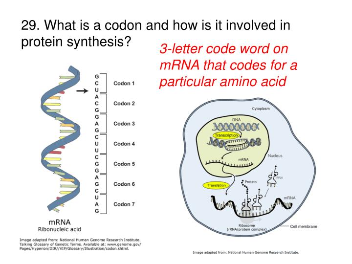 29. What is a codon and how is it involved in protein synthesis?