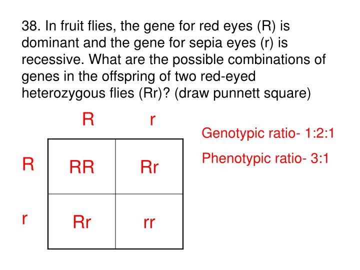 38. In fruit flies, the gene for red eyes (R) is dominant and the gene for sepia eyes (r) is recessive. What are the possible combinations of genes in the offspring of two red-eyed heterozygous flies (Rr)? (draw punnett square)