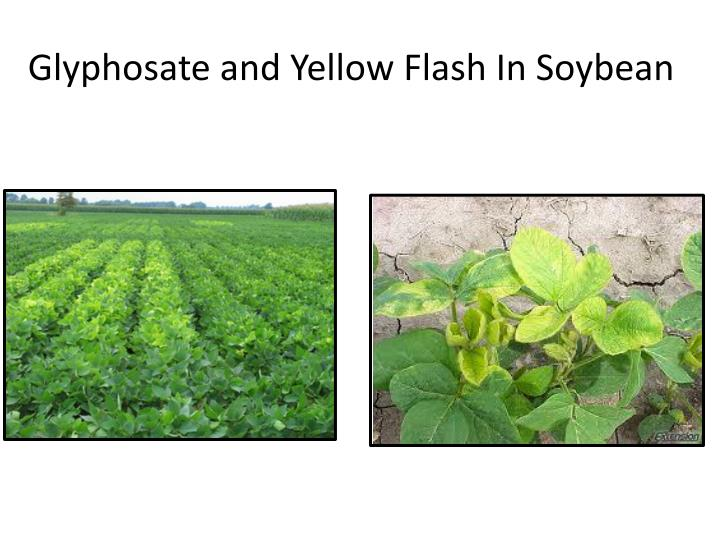 Glyphosate and Yellow Flash In Soybean