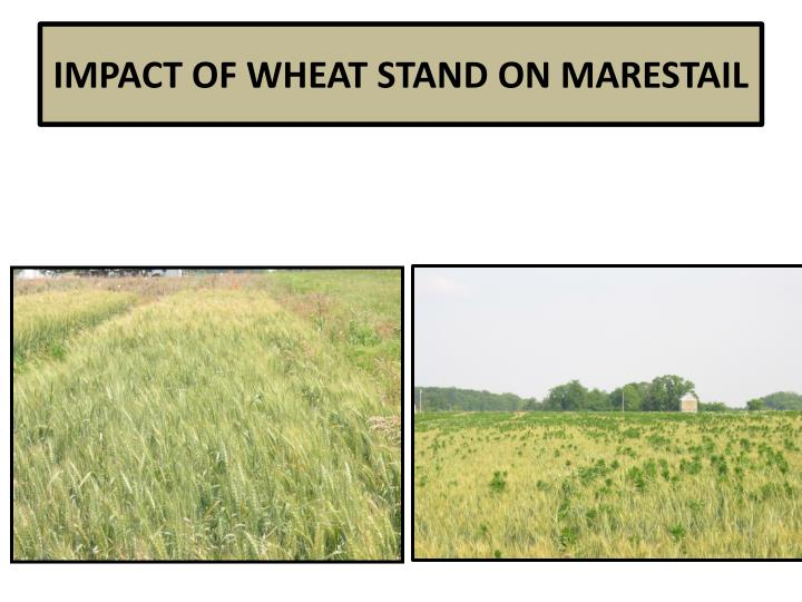 IMPACT OF WHEAT STAND ON MARESTAIL