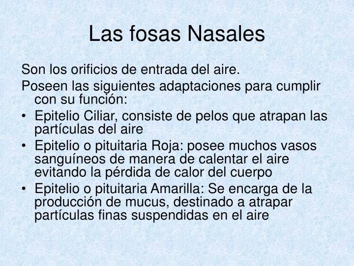 Las fosas Nasales