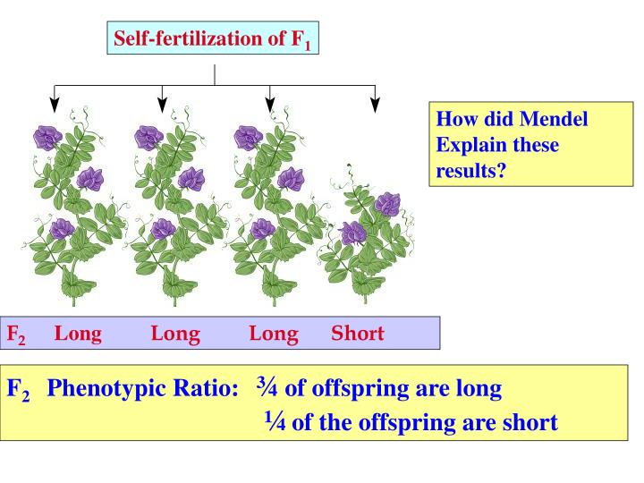 Self-fertilization of F