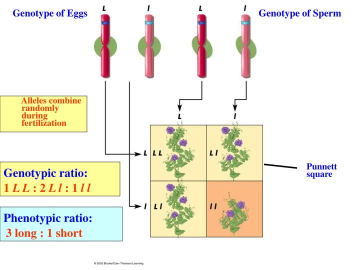 Genotype of Eggs