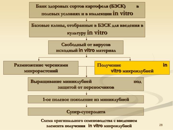 Банк здоровых сортов картофеля (БЗСК)         в полевых условиях и в коллекции