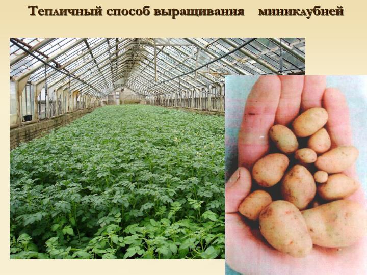 Тепличный способ выращивания    миниклубней