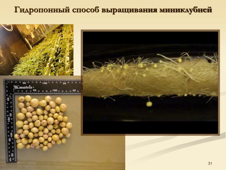 Гидропонный способ выращивания миниклубней