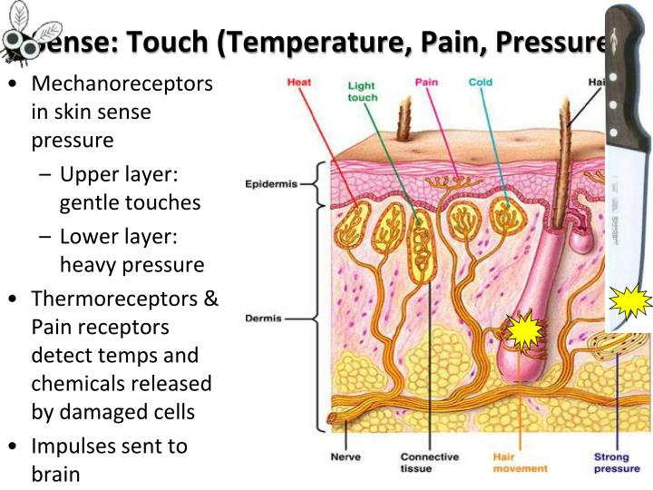 Sense: Touch (Temperature, Pain, Pressure)