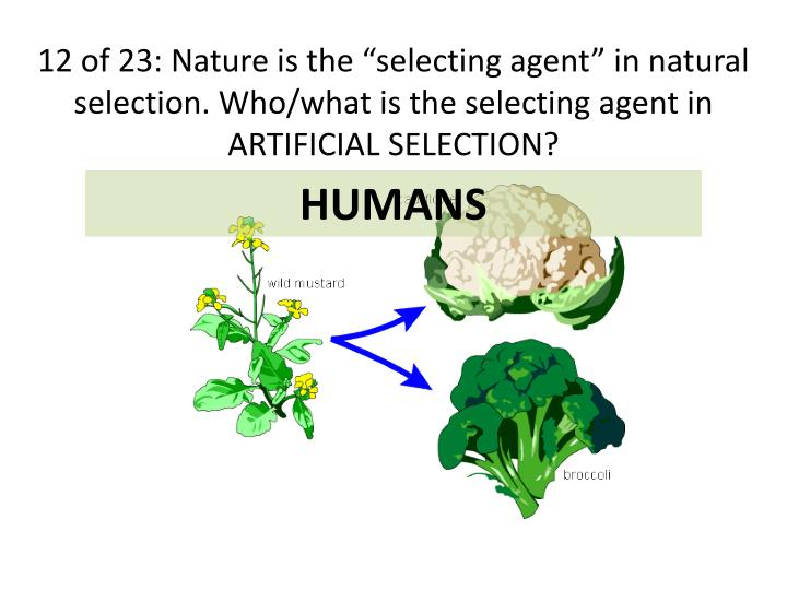 "12 of 23: Nature is the ""selecting agent"" in natural selection. Who/what is the selecting agent in ARTIFICIAL SELECTION?"