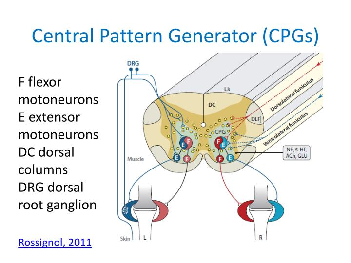 Central Pattern Generator (CPGs)