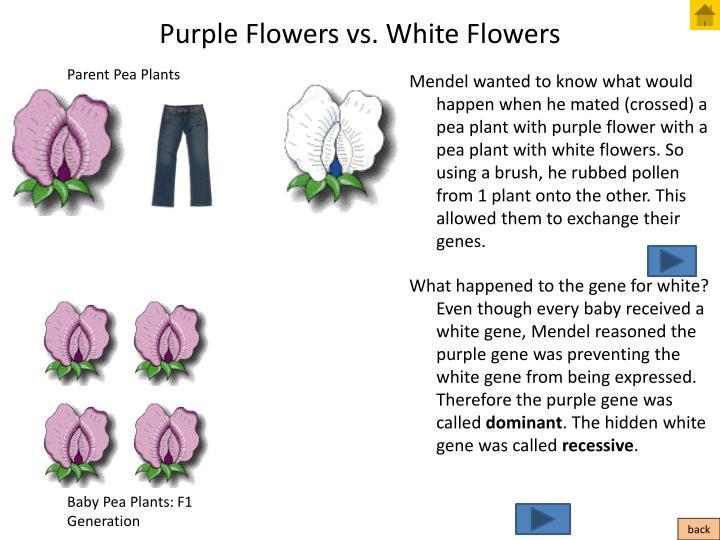 Purple flowers vs white flowers