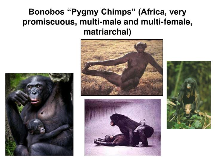 """Bonobos """"Pygmy Chimps"""" (Africa, very promiscuous, multi-male and multi-female, matriarchal)"""