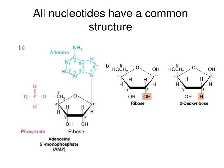 All nucleotides have a common structure