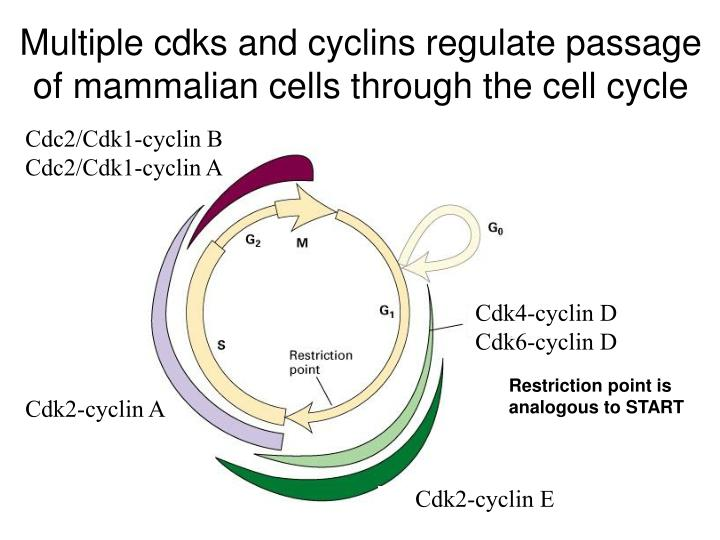 Multiple cdks and cyclins regulate passage of mammalian cells through the cell cycle