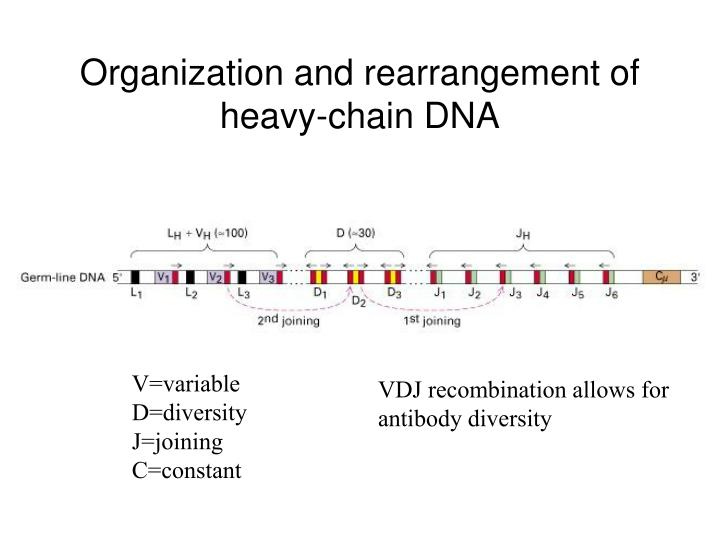 Organization and rearrangement of heavy-chain DNA