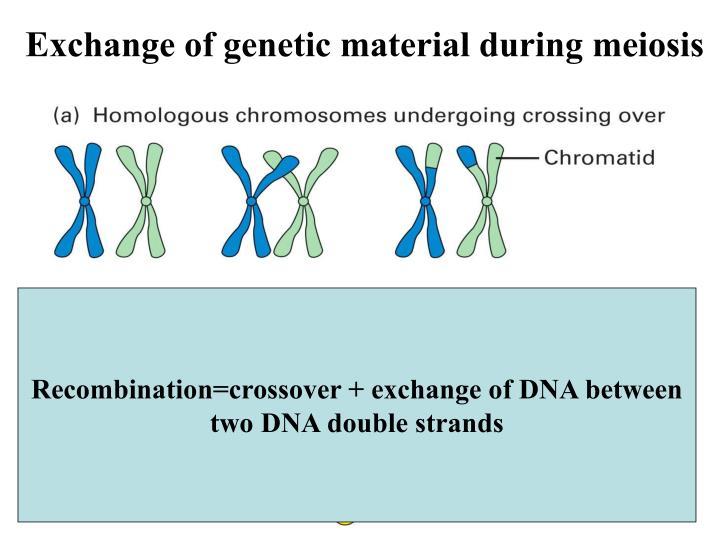 Exchange of genetic material during meiosis