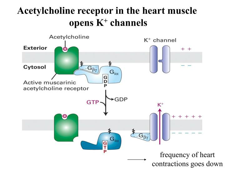 Acetylcholine receptor in the heart muscle