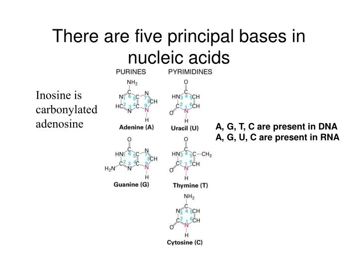 There are five principal bases in nucleic acids