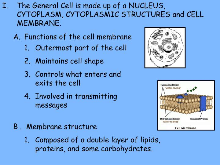 The General Cell is made up of a NUCLEUS, CYTOPLASM, CYTOPLASMIC STRUCTURES and CELL MEMBRANE.