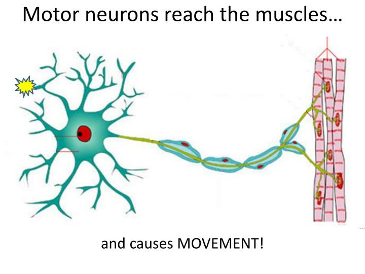 Motor neurons reach the muscles…