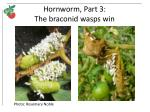 hornworm part 3 the braconid wasps win