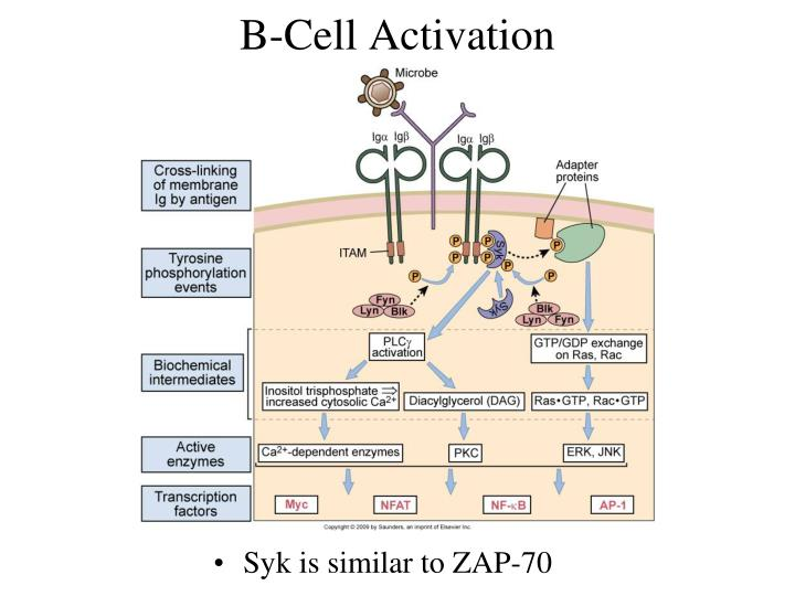 B-Cell Activation