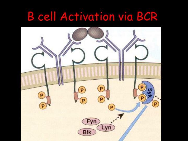 B cell Activation via BCR