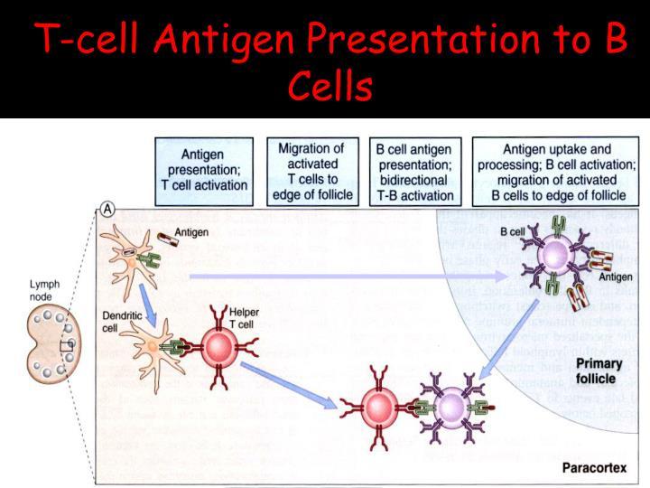 T-cell Antigen Presentation to B Cells