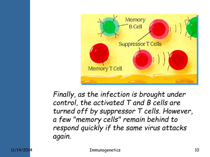 "Finally, as the infection is brought under control, the activated T and B cells are turned off by suppressor T cells. However, a few ""memory cells"" remain behind to respond quickly if the same virus attacks again."