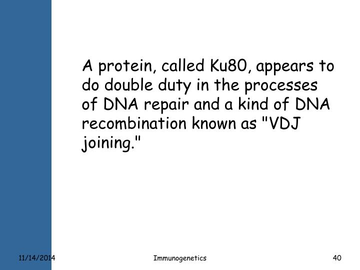 "A protein, called Ku80, appears to do double duty in the processes of DNA repair and a kind of DNA recombination known as ""VDJ joining."""