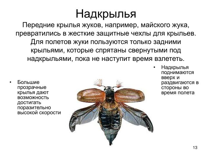 Большие прозрачные крылья дают возможность достигать поразительно высокой скорости