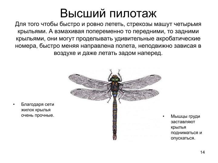 Благодаря сети жилок крылья очень прочные.