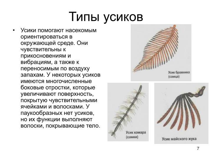Усики помогают насекомым ориентироваться в окружающей среде. Они чувствительны к прикосновениям и вибрациям, а также к переносимым по воздуху запахам. У некоторых усиков имеются многочисленные боковые отростки, которые увеличивают поверхность, покрытую чувствительными ячейками и волосками. У паукообразных нет усиков, но их функции выполняют волоски, покрывающие тело.