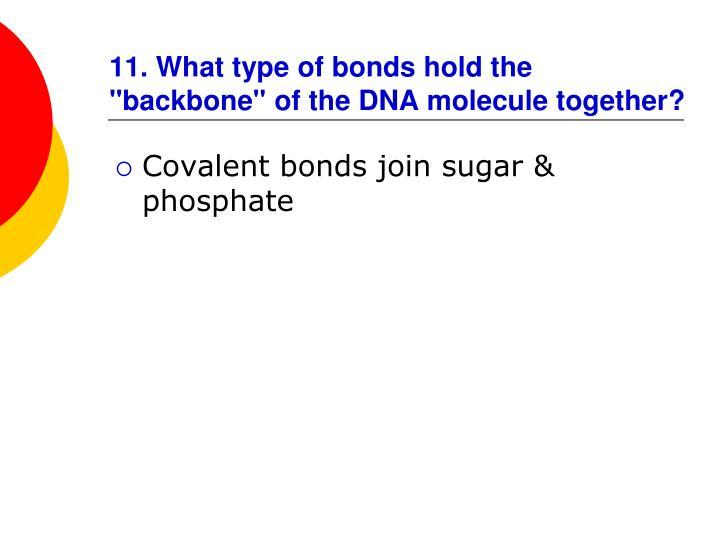 """11. What type of bonds hold the """"backbone"""" of the DNA molecule together?"""