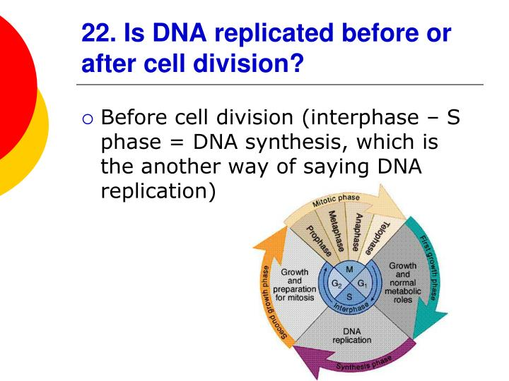 22. Is DNA replicated before or after cell division?