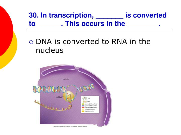 30. In transcription, _______ is converted to ______. This occurs in the ________.