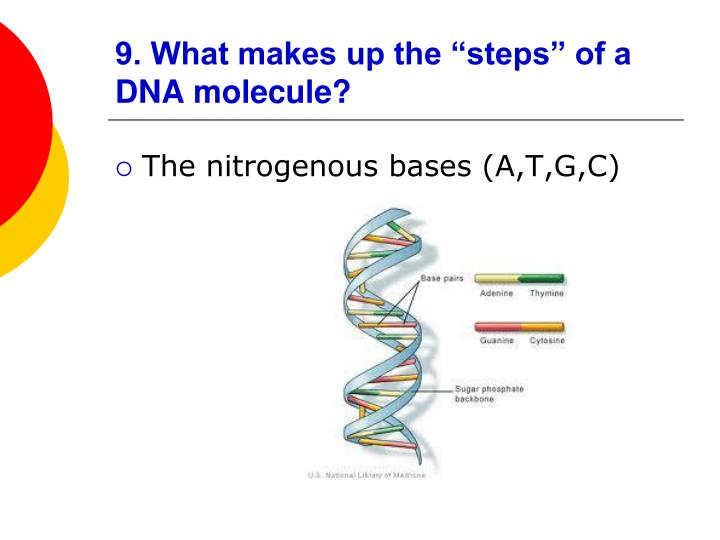 """9. What makes up the """"steps"""" of a DNA molecule?"""