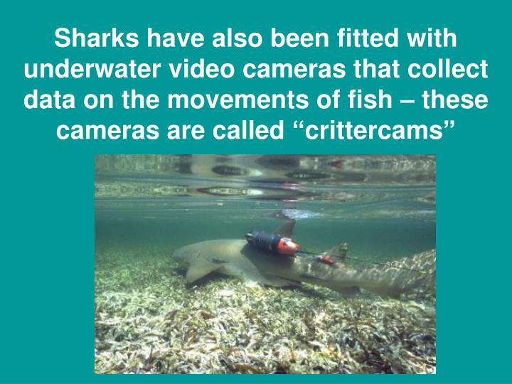 "Sharks have also been fitted with underwater video cameras that collect data on the movements of fish – these cameras are called ""crittercams"""