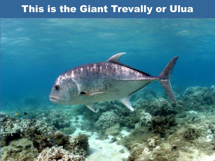 This is the Giant Trevally or Ulua