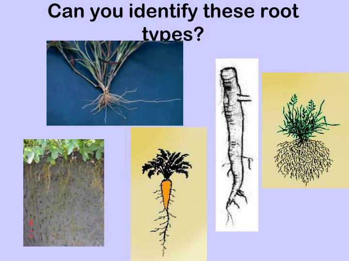 Can you identify these root types?