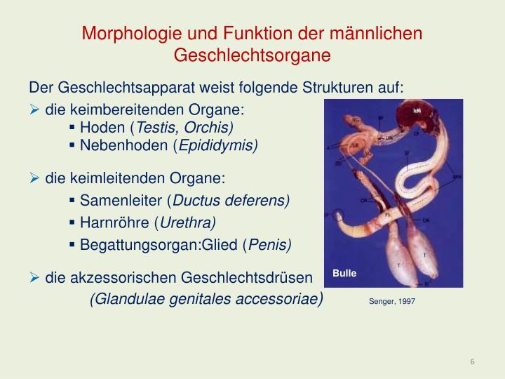 Morphologie und Funktion der männlichen Geschlechtsorgane
