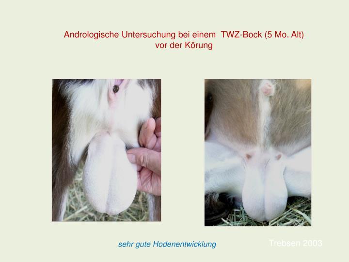 Andrologische Untersuchung bei einem  TWZ-Bock (5 Mo. Alt) vor der Körung