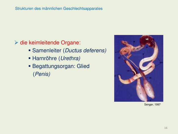 Strukturen des männlichen Geschlechtsapparates