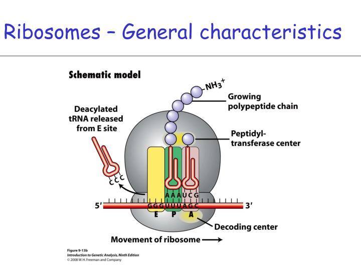 Ribosomes – General characteristics