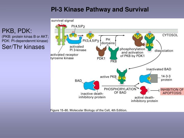 PI-3 Kinase Pathway and Survival