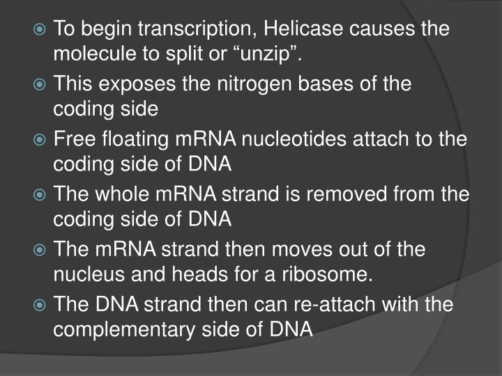 "To begin transcription, Helicase causes the molecule to split or ""unzip""."