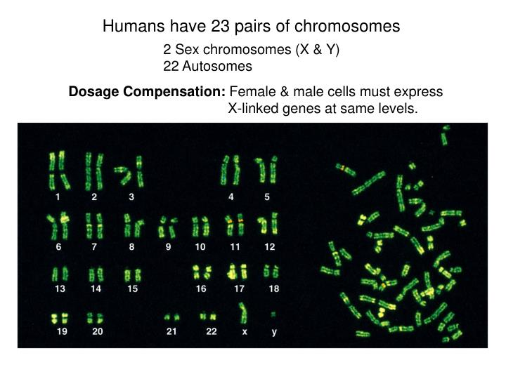 Humans have 23 pairs of chromosomes